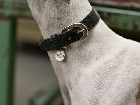 Fashion accessory, Collar, Beige, Silver, Dog collar, Body jewelry, Working animal, Strap, Pet supply, Bracelet,