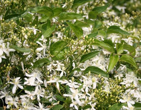 Fragrant jasmine vines mightylinksfo