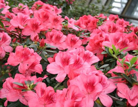 Deadheading Rhododendrons