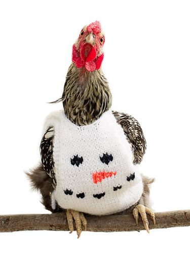 Chickens Wearing Sweaters , Photos of Chickens in Sweaters