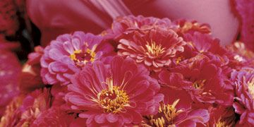 Coral red zinnias