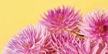 purple pink dahlias in a white vase