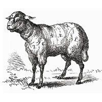 sketch of lamb