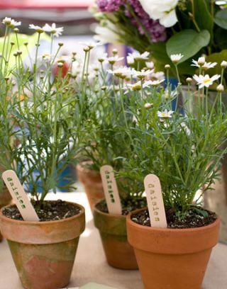 daisies in pots