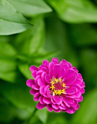 purple zinnia flower