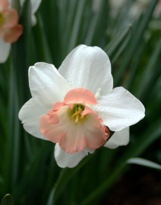 white and pink daffodil