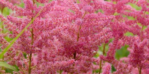 astilbe visions in pink flower