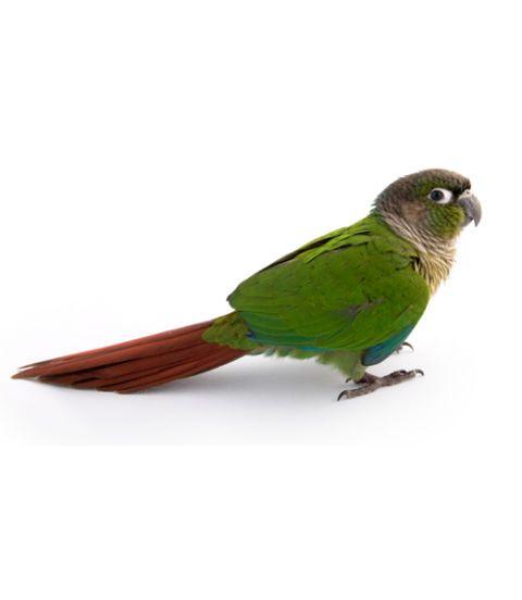 Bird Questions - Pet Bird Health Advice