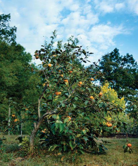 persimmon tree growing