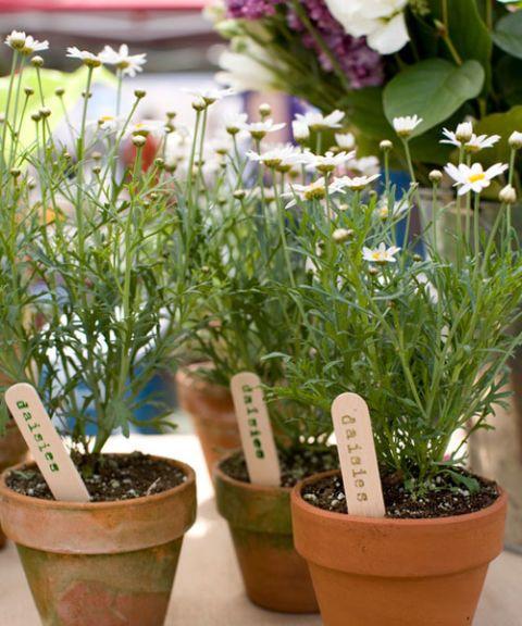 daisies in terra cotta pots