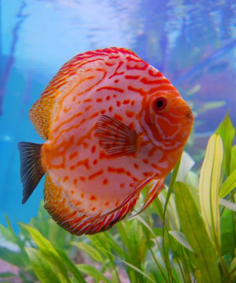 discus fish underwater
