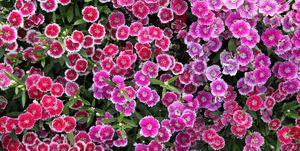 pinks perennial