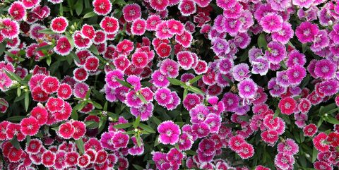 20 Best Perennial Flowers - Ideas for Easy Perennial ... Zone Plants Around House on full sun plants, plateau plants, zone 4 trees, evergreen rock garden plants, california plants, usda plants, united kingdom plants, zone 4 architecture, temperature zones for plants, zone 4 vines, garden mums plants, zone 4 landscaping, zone 4 flowers, zone 4 grasses, south dakota plants, san francisco plants, zone 4 gardening, roses plants, zone 4 roses, unknown plants,