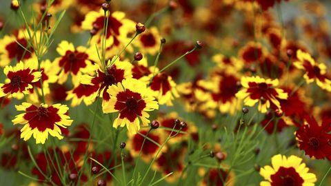 20 best perennial flowers ideas for easy perennial flowering plants tickseed mightylinksfo