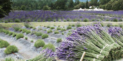 0711-islands-lavendar-s2.jpg