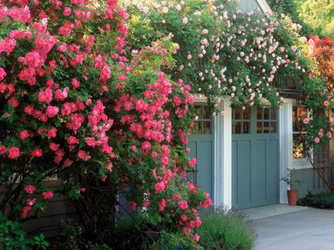 How To Grow A Rose Garden Gardening Tips