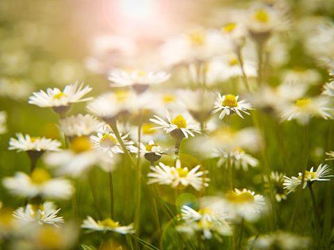 Daytime, Plant, Petal, Flower, camomile, Wildflower, Flowering plant, Botany, Spring, Meadow,