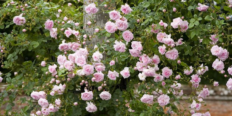 New Dawn Rose   The Best Climbing Roses