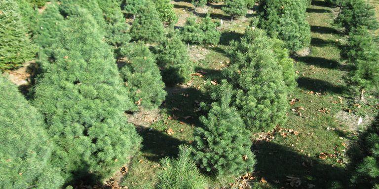Keeping Christmas Trees Fresh