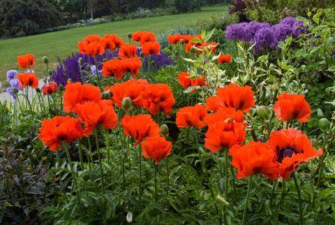 Plant, Flower, Plant community, Petal, Flowering plant, Botany, Poppy, Shrub, Garden, Poppy family,