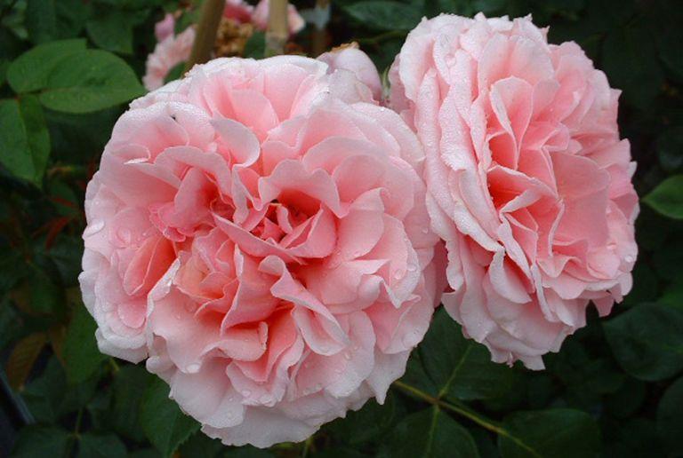 Aloha Rose - Best Climbing Roses