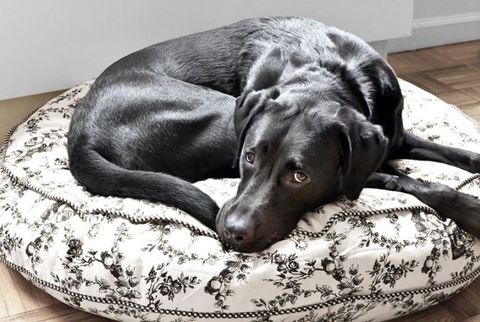 black lab on a dog bed