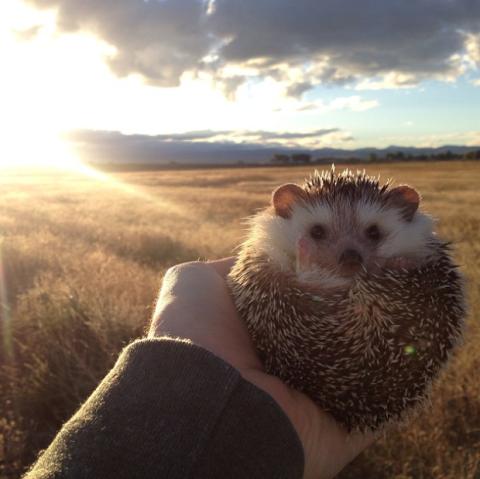 Hedgehog, Erinaceidae, Organism, Sunlight, Adaptation, Light, Domesticated hedgehog, Snout, Morning, Fawn,