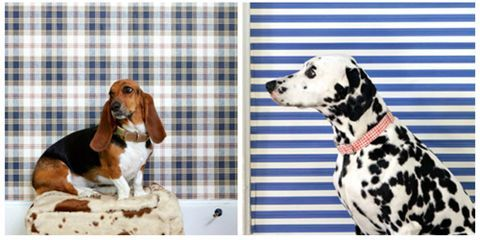 Dog, Vertebrate, Organism, Dog breed, Carnivore, Dalmatian, Liver, Snout, Pet supply, Linens,
