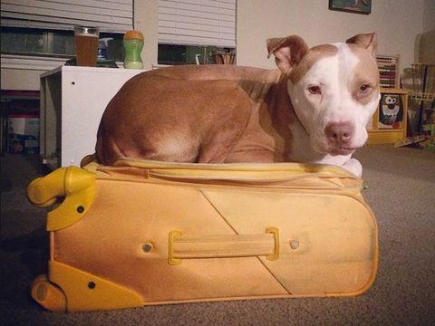 Brown, Dog, Carnivore, Dog breed, Bag, Snout, Working animal, Liver, Beige, Tan,