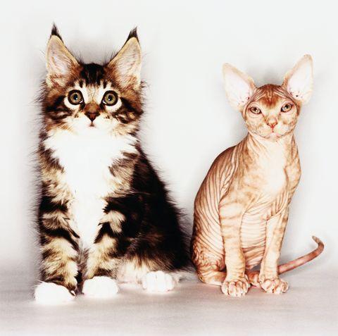 Organism, Vertebrate, Skin, Whiskers, Carnivore, Cat, Felidae, Small to medium-sized cats, Iris, Snout,