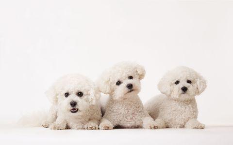 Toy, Organism, Dog, Vertebrate, Carnivore, Mammal, Pattern, Snout, Dog breed, Companion dog,