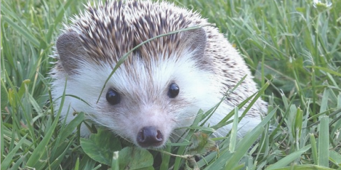 I Have Some Very Sad News To Bring You Tonight Biddy The Hedgehog Who Became Famous For His Traveling Adventures Has Died