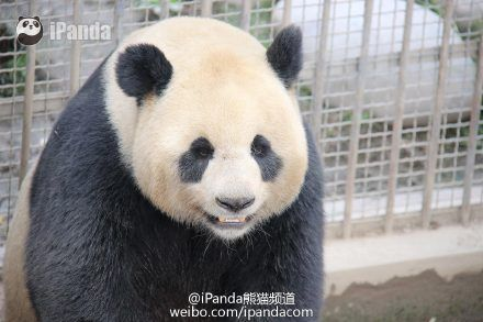 These Pandas Just Set a Record for Panda Sex