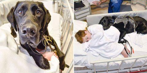 Dog breed, Comfort, Vertebrate, Dog, Carnivore, Mammal, Sporting Group, Collar, Snout, Liver,