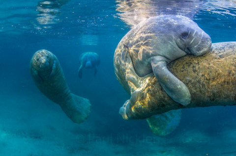 How do manatees have sex