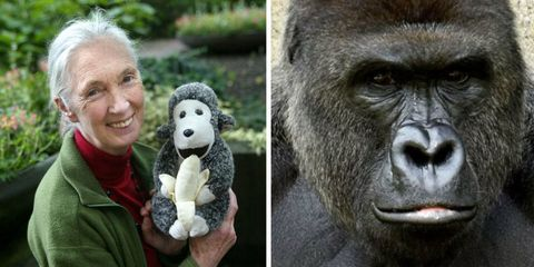 jane goodall on harambe the gorilla s death primate expert on