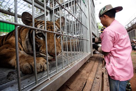 Bengal tiger, Tiger, Cap, Cage, Siberian tiger, Terrestrial animal, Temple, Iron, Pet supply, Animal shelter,