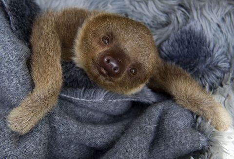 Brown, Sloth, Skin, Organism, Adaptation, Iris, Snout, Comfort, Terrestrial animal, Two-toed sloth,