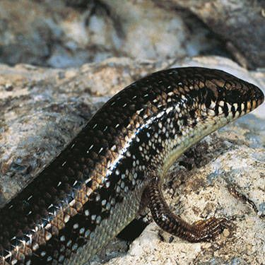 This type of lizard has been associated with sexiness since ancient Greece, when parts of it were used to make wine. Now, the skink's skin (say that three times fast) is a delicacy in North Africa—and it's rumored to make those who eat it absolutely irresistible.