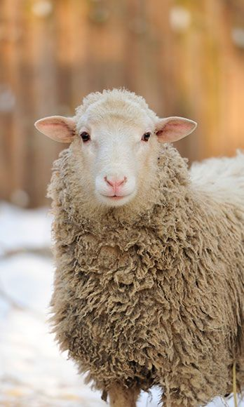 "<p>Yep, this is a real thing: A serum made from Lamb Chop's afterbirth gets smeared on your face to help reverse the signs of aging. While the jury's out on whether or not it really works, Victoria Beckham is allegedly a big fan of this <a href=""http://www.cosmopolitan.com/celebrity/news/sheep-placenta-facial"" target=""_blank"">icky-sounding beauty treatment</a>.</p>"