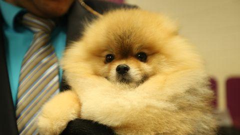 Skin, Dog breed, Dog, Spitz, Vertebrate, Carnivore, German spitz klein, Dress shirt, Snout, German spitz,