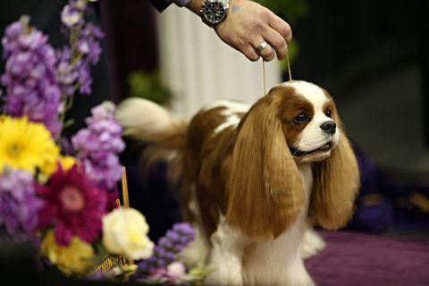 Carnivore, Watch, Dog, Flower, Purple, Wrist, Dog breed, Petal, Spaniel, Lavender,