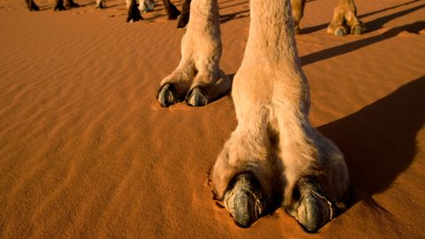 Natural environment, Landscape, Sand, Adaptation, Aeolian landform, Terrestrial animal, Fawn, Erg, Desert, Toe,