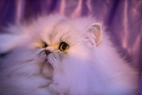 Felidae, Small to medium-sized cats, Carnivore, Whiskers, Cat, Iris, Purple, Organ, Violet, Snout,
