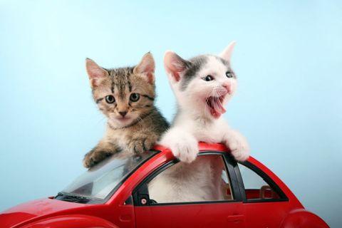 Vertebrate, Small to medium-sized cats, Carnivore, Felidae, Cat, Whiskers, Red, Kitten, Vehicle door, Hood,