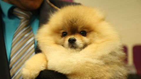 16 Amazingly Cute Pups From the Westminster Dog Show