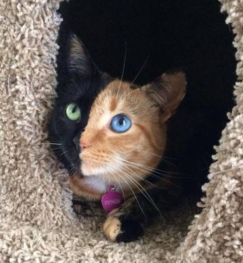 Venus the two faced cat