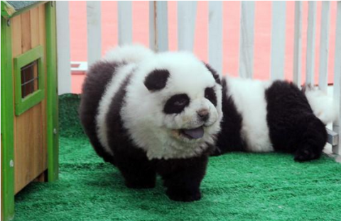 Italian Circus Tries To Pass Off Chow Puppies As Pandas
