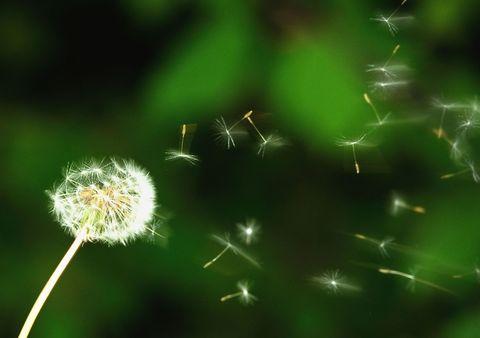 hay fever pollen allergies