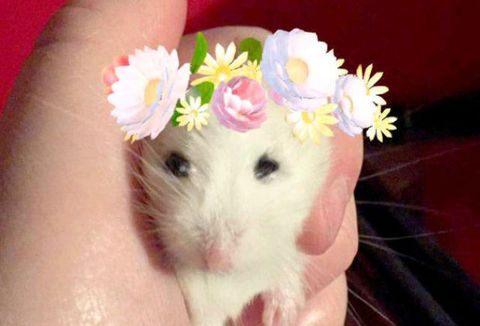 Tiny hamster with flower crown snapchat filter